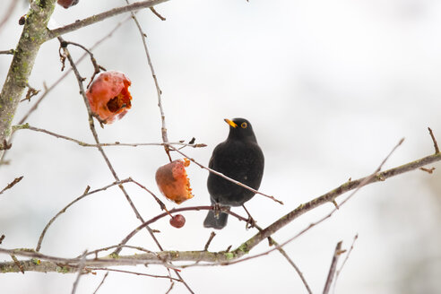 Blackbird sitting on a twig in winter - JTF000619