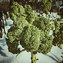 Kale in snow - CSTF000784