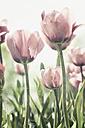 Tulips - CSTF000800