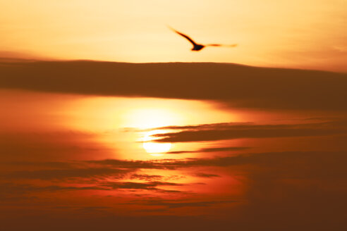 Flying seagull at sunset - KRP001220