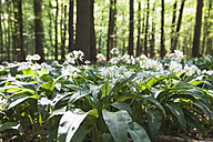 Germany, North Rhine-Westphalia, Eifel, wild garlic - GWF003593
