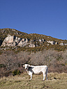 Spain, Catalonia, Pyrenees, cow on meadow - JMF000310