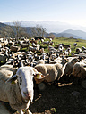 Spain, Catalonia, Pyrenees, flock of sheep on meadow - JM000311