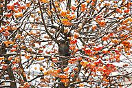 Ornamental apple tree in winter - JTF000621