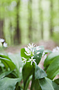 Germany, North Rhine-Westphalia, Eifel, blossoming wild garlic - GWF003621