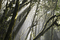 Canary Islands, La Gomera, Garajonay National Park, laurel forest - SIEF006435