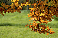 Austria, Upper Austria, Linz, Leaves of a tree in autumn - EJWF000663