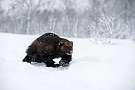Norway, Bardu, wolverine walking through snow - PAF001230