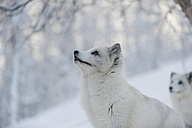 Norway, Bardu, polar foxes in winter - PAF001245