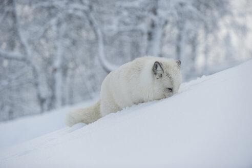 Norway, Bardu, polar fox in winter - PAF001240