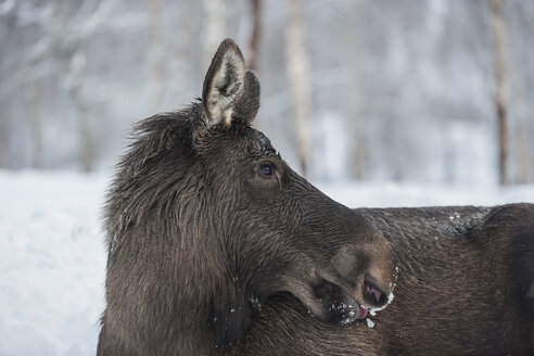 Norway, Bardu, profile of an elk in winter - PAF001242