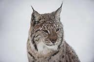 Norway, Bardu, portrait of lynx in winter - PAF001246