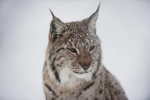 Norway, Bardu, portrait of lynx in winter - PAF001246