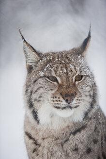 Norway, Bardu, portrait of lynx in winter - PAF001235