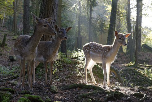 Germany, Furth im Wald, fallow deers at wildlife park - LB001020