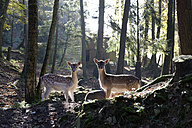 Germany, Furth im Wald, fallow deers at wildlife park - LB001021