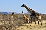 Africa, Namibia, Kaokoland, Namib desert, three desert adapted giraffes - ESF001544