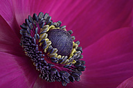 Part of pink anemone - MJOF000938