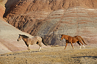 USA, Wyoming, Big Horn Mountains, two galloping wild horses - RUEF001448