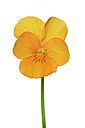 Yellow orange violet in front of white background - RUEF001422