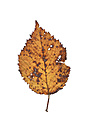 Wilted autumn leaf of beech tree - WWF003612