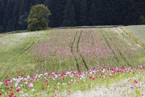Austria, Lower Austria, Waldviertel, Poppy field, Papaver somniferum, grey poppy - SIEF006462