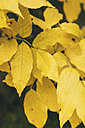Germany, autumnal yellow leaves - BZF000035