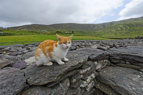 Ireland, County Kerry, near Waterville, Fort Lothair, cat sitting on stones - LB001038