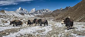 Nepal, Khumbu, Everest region, Yaks near Dingboche - ALRF000045