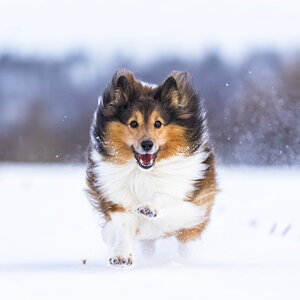 Germany, Shetland Sheepdog running in snow - STSF000691