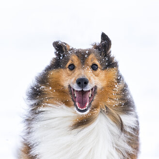 Germany, Shetland Sheepdog, portait in winter - STSF000695