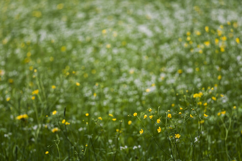 Germany, meadow with creeping buttercups - TCF004542