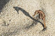 Bulgaria, seahorse on the beach, sun light - DEGF000314