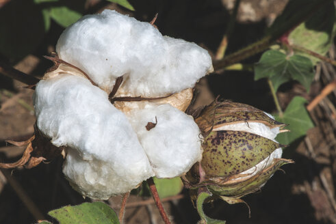 Greece, cotton plant - DEGF000200