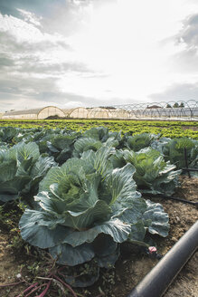 Greece, cabbage field - DEGF000321
