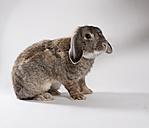 Dwarf rabbit on white ground - CNF000041