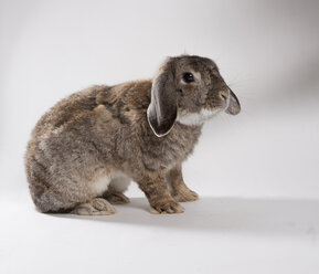 Dwarf rabbit on white ground - CNF000041