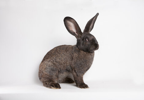Brown rabbit in front of white background - CNF000042