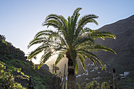 Spain, Canary Islands, La Gomera, Valle Gran Rey, Canary Island Date Palm - SIEF006483