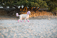 Pink poodle walking on beach - ZEF004700