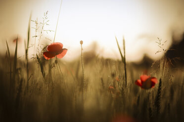 Austria, Poppy field in the evening - STCF000074