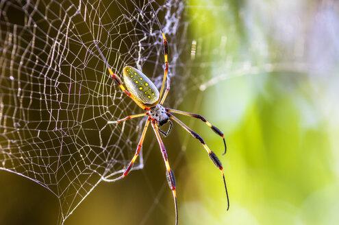 Costa Rica, Golden orb-weaver, Nephila clavipes - THAF001245
