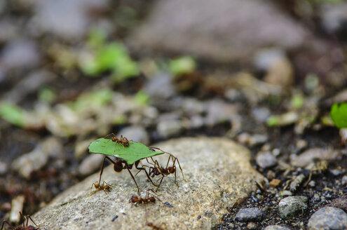 Costa Rica, Leaf-cutting ants carrying leaves - THAF001261