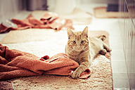 Red tabby cat playing with towels - MABF000310