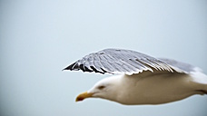 Netherlands, Goeree-Overflakkee, herring gull, Larus argentatus - MHF000349
