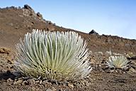 USA, Hawaii, Maui, Haleakala, silversword growing in volcanic crater - BRF001067
