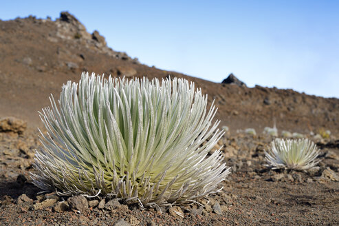 USA, Hawaii, Maui, Haleakala, silversword growing in volcanic crater - BRF001067