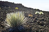 USA, Hawaii, Maui, Haleakala, silversword growing in volcanic crater - BRF001069