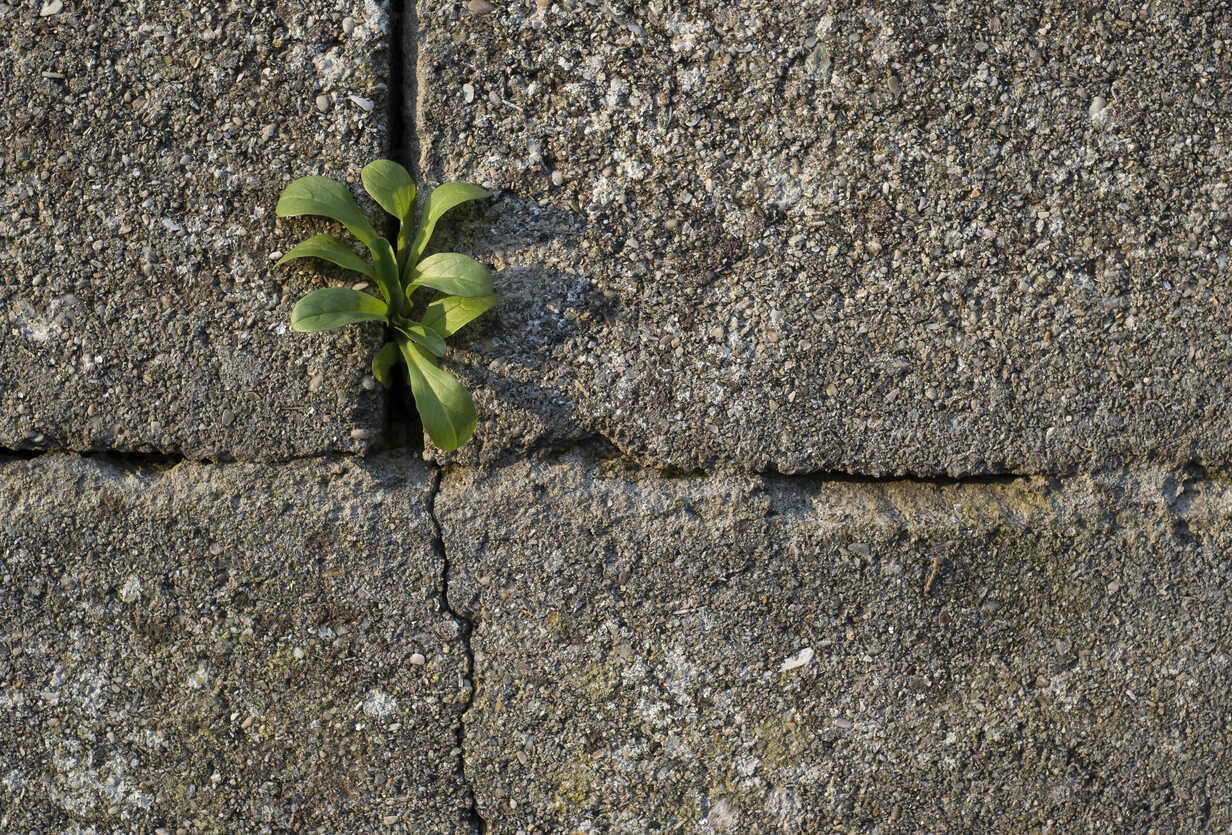 Small Plant Growing At Gap Of A Wall Raef000053 Ramon Espelt Westend61