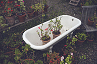 Blooming potted plants in an old tub in a garden - CHPF000070